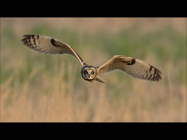 Asio Flammeus(Short Eared Owl)