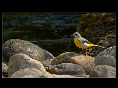 Grey Wagtail with Mayfly