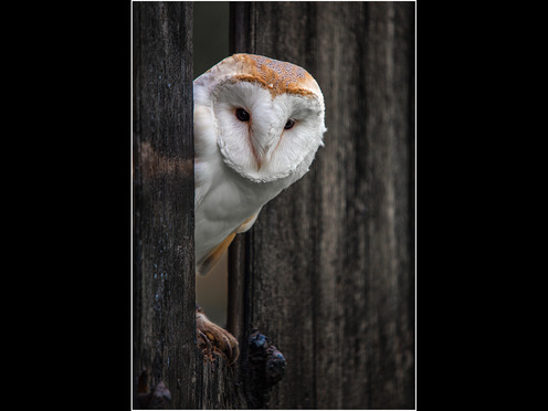 Barn Owl Peeping out of the Barn
