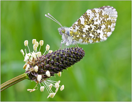 Orange Tip Butterfly on Ribwort Plantain